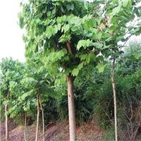 哪里有供应落叶乔木洋紫荆习性喜光易种植