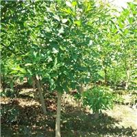 象牙红米径3公分 成都象牙红基地批发价格