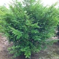 江西红豆杉红豆杉生产基地江西红豆杉苗圃