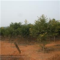 江西竹柏|竹柏苗圃|竹柏基地|竹柏供应