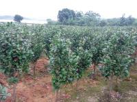 茶花生产基地|茶花供应|茶花苗圃|茶花报价