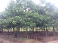 江西重阳木|江西重阳木生产基地|重阳木价格