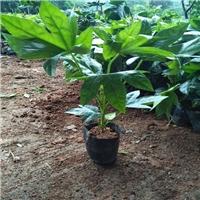特价供应优质常绿灌木八角金盘