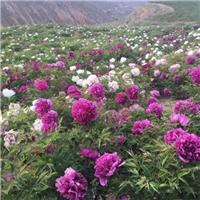 供应高度100cm的观赏牡丹花种苗