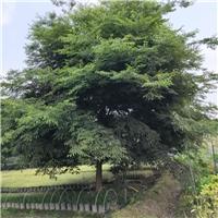 成都榉树基地批发 成都榉树直销 榉树价格