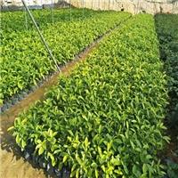 大规模苗木培育基地直供黄金榕袋苗