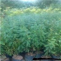 低价供应规格齐全优质胡椒木