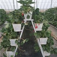 常州草莓基地巧用草莓立体种植架创高产
