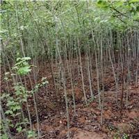枫香营养袋苗供应