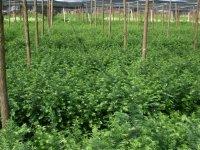 江西红豆杉杯苗
