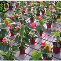 温室红掌育苗床-Q1-02潮汐苗床-华耀设备厂