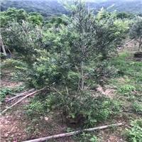 美花红千层乔榕翔木基地批发供应易种植