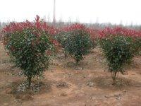 3公分红叶石楠4公分红叶石楠
