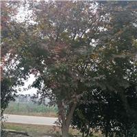 2公分鸡爪槭|3公分鸡爪槭|4公分鸡爪槭