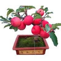 盆栽苹果树价格 盆栽苹果批发 盆栽果树产地