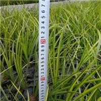 护坡绿化优质金叶石菖蒲
