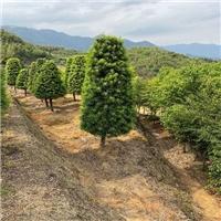 塔型罗汉松树形古雅种榕翔苗木建美好乡村