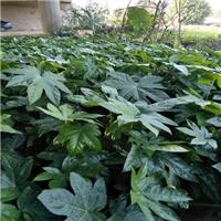 八角金盘是优美的观光树种十分雅致值得栽培