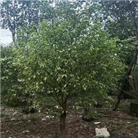致富绿化两不误种植垂叶榕它可以净化空气