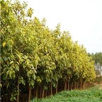 榕翔好苗木绿树成荫长年供应丛生富贵榕