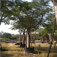 凤凰木很适合种植在校园里