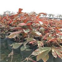 园林海洋榕翔一片绿今日特价清新秀丽红背桂