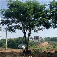 常年大量种植凤凰木供不应求