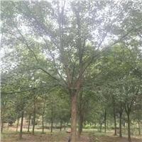 浙江三角枫 行道树15公分供应商 金华货源