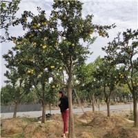 供应脐橙树 浙江脐橙20公分庭院绿化树