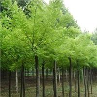 供应各种国槐,皂角、白蜡,花冠木等绿化苗木