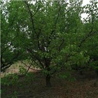 精品山杏树 15公分山杏树价格