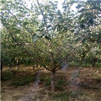 5公分苹果树,4公分苹果树,8公分占地果树