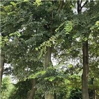 20-50公分朴树移栽苗价格 浙江货源