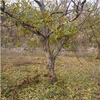大石榴树,15公分山西石榴树苗12公分石榴树厂