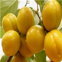 珍珠油杏苗杏树苗原产地嫁接杏树苗耐旱新品厂