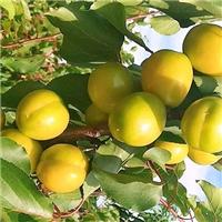 珍珠油杏苗杏树苗原产地嫁接杏树苗耐旱新品