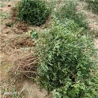 供应酸枣树苗,一年酸枣苗价格厂