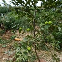 供应酸枣树苗,一年酸枣苗价格