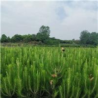 永州湿地松苗供应-美洋洋绿化