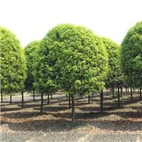 桂花树品种图片/价格 四季桂花基地