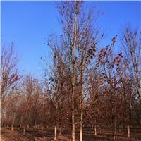江苏地区供应1-20公分美国红枫厂