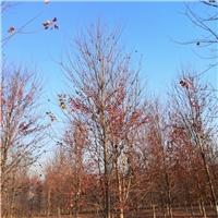 江苏地区供应1-20公分美国红枫