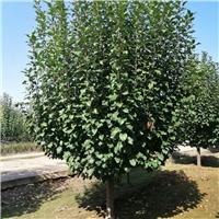 怀来八棱海棠树价格 14公分八棱海棠价格