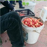 2021年八棱海棠种子价格新产种子厂