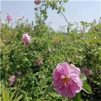 供应大马士革玫瑰苗木,基地直供老桩苗木