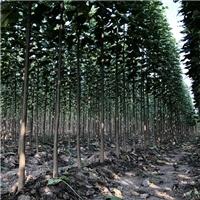 楸树 3公分楸树 楸树小苗大量供应厂