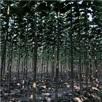 楸树 3公分楸树 楸树小苗大量供应