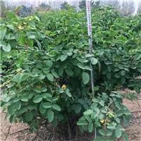 大马士革玫瑰苗价格优惠,玫瑰庄园基地直供厂