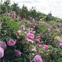 大马士革玫瑰苗价格优惠,玫瑰庄园基地直供