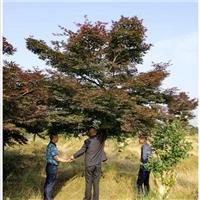现挖现卖浏阳红枫苗木|红枫价格找张总